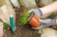 Sadzenie roslin na skalniaku