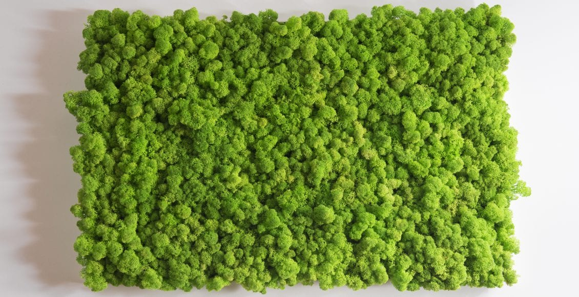 Chrobotek Reniferowy Mech W Domu Ile Kosztuje Zielona ściana